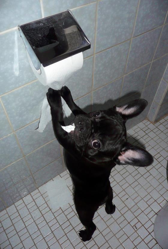 Resultado de imagen para Французский бульдог туалет