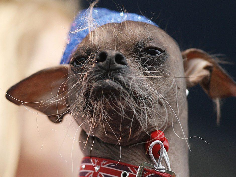 Китайская хохлатая собака с суровым лицом.