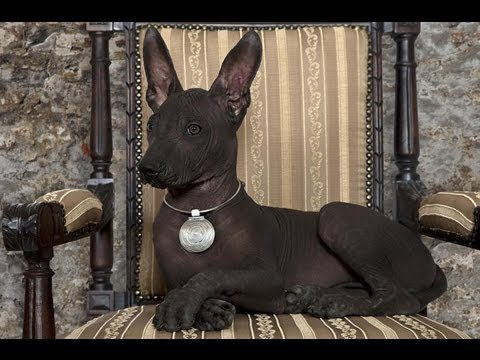 Перуанская голая собака лежит в кресле.