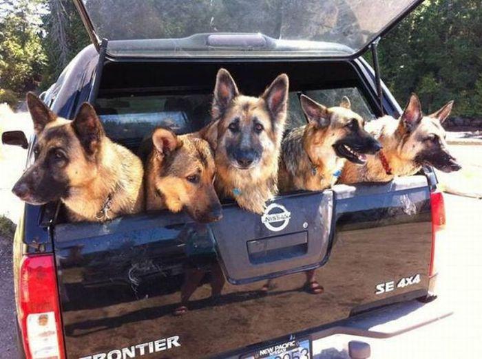 Целый багажник немецких овчарок.