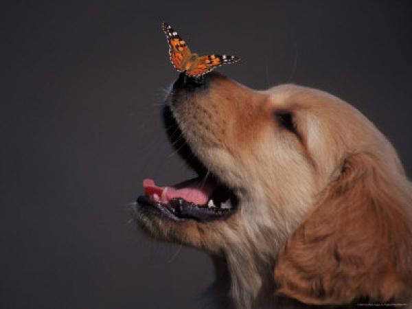 Новошотландский ретривер с бабочкой на носу.