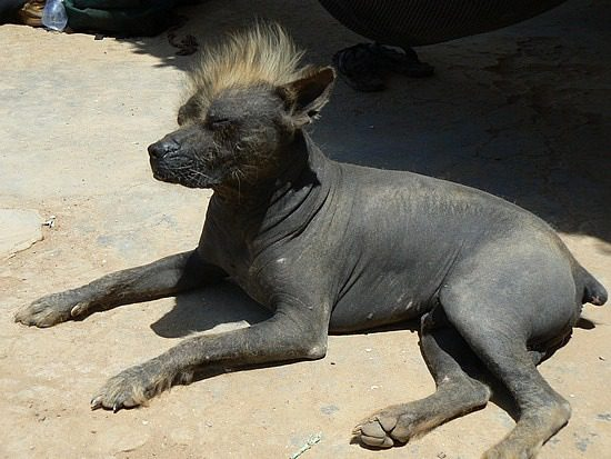 Перуанская голая собака греется на солнышке.