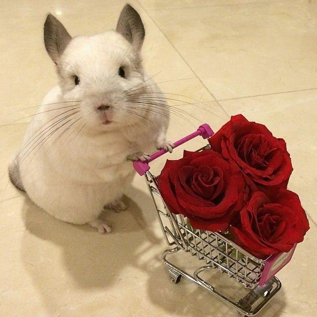 Шиншилла в супермаркете