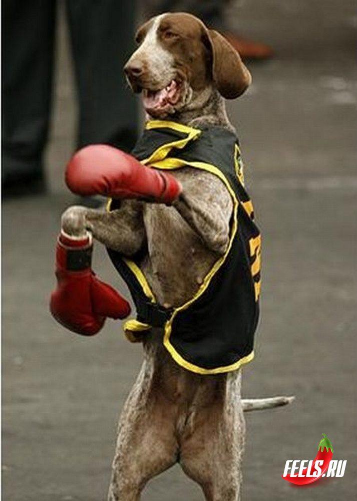 Курцхаар боксирует.