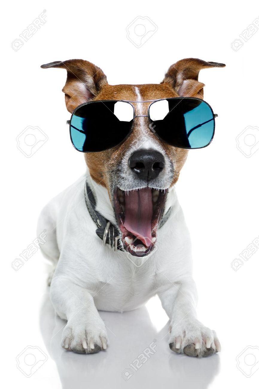 Джек-рассел-терьер надел солнечные очки.