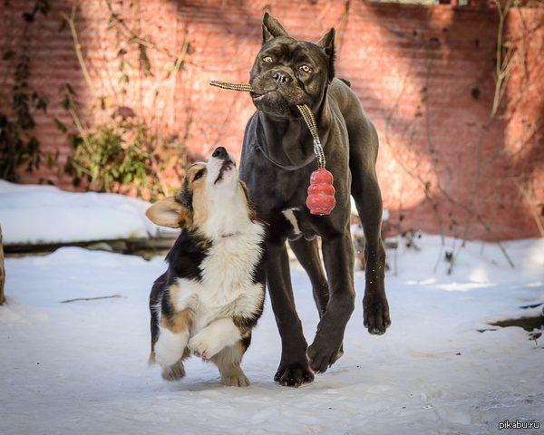 Кане-корсо с другом на прогулке.