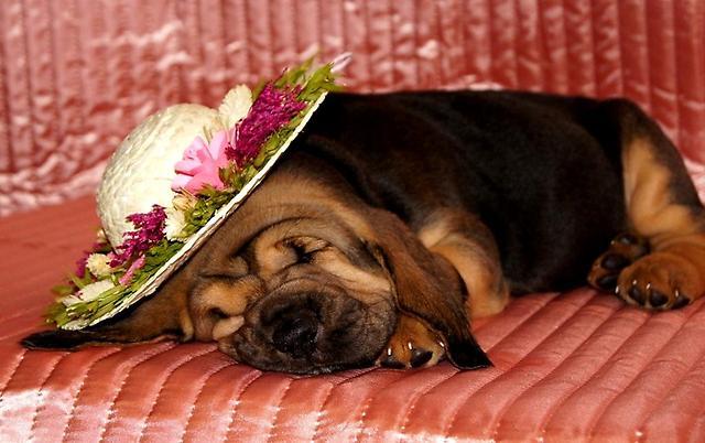 Бладхаунд спит в шляпе.