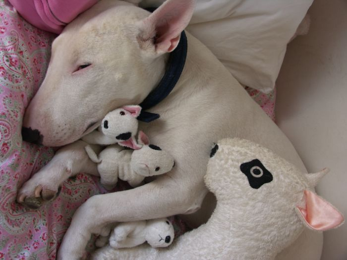 Бультерьер спит со своей игрушкой.