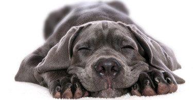 Кане-корсо спит.