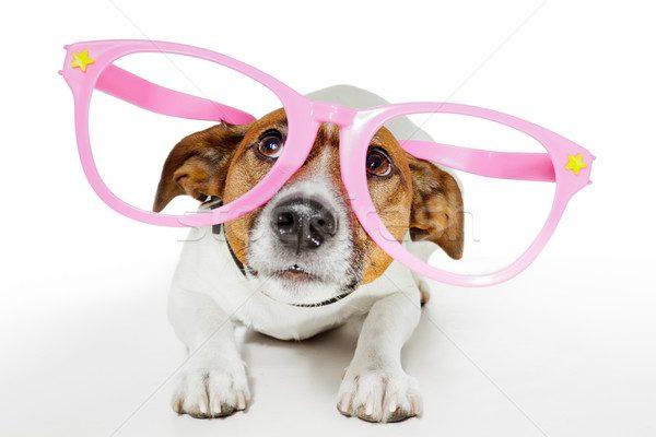 Джек-рассел-терьер в гламурных розовых очках.
