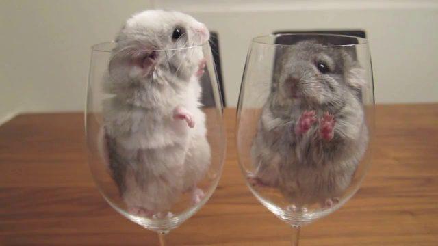 Шиншиллы залезли в бокалы