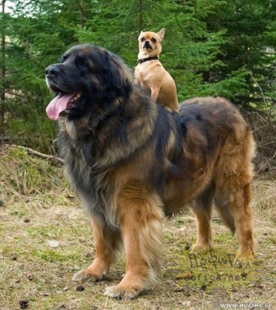 Леонбергер катает на спине своего друга.