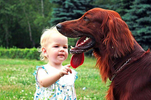 Ирландский сеттер  играет с ребенком.