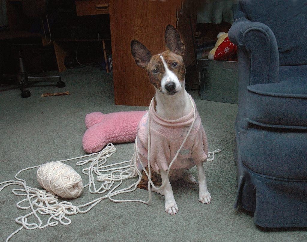 Бассенджи в свитере.