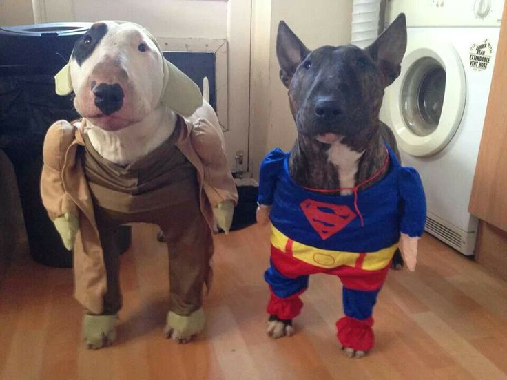 Бультерьер с другом в костюмах супергероев.