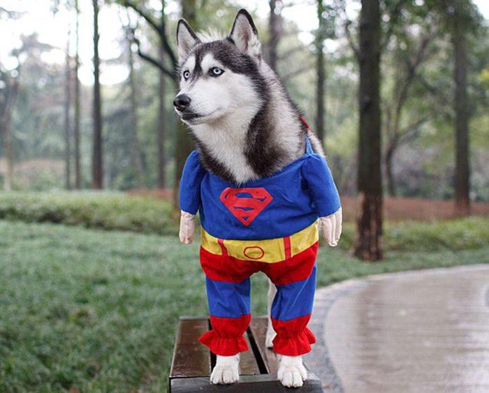 Лайка в костюме супергероя.