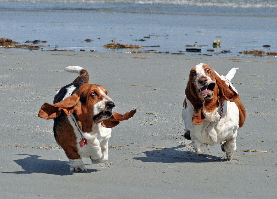 Бассет-хаунды бегут по пляжу.