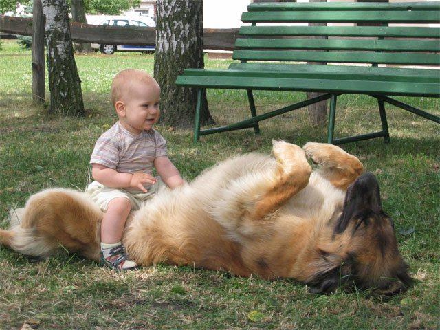 Леонбергер играет с ребенком.