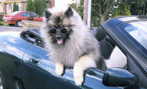 Кеесхонд в солнечных очках едет в автомобиле.