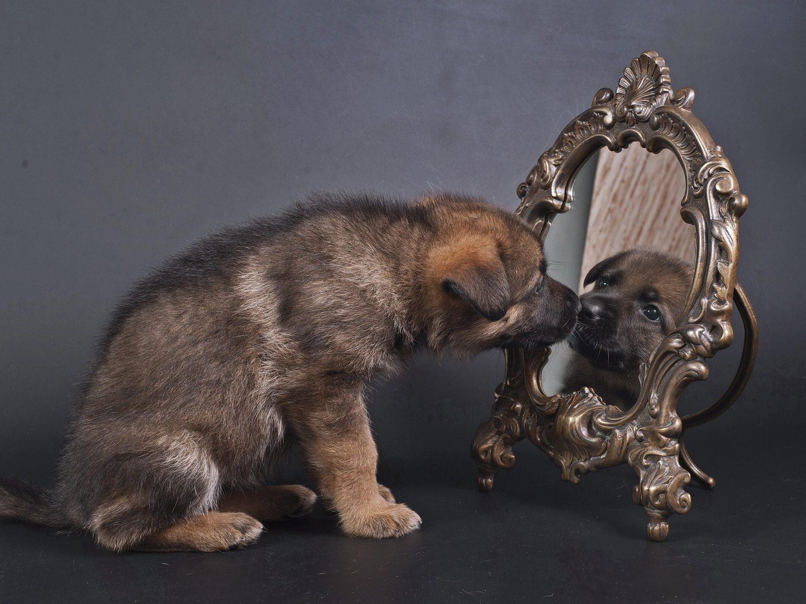 Кавказская овчарка смотрится в зеркало.