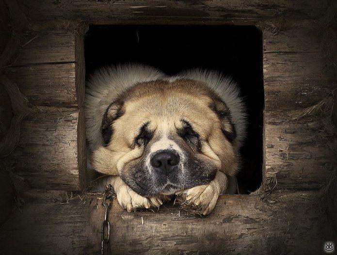 Кавказская овчарка грустит в будке.