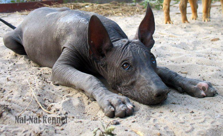 Перуанская голая собака скучает.