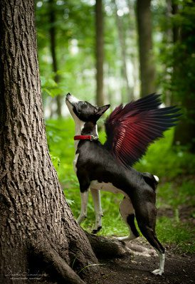 Бассенджи с крыльями.