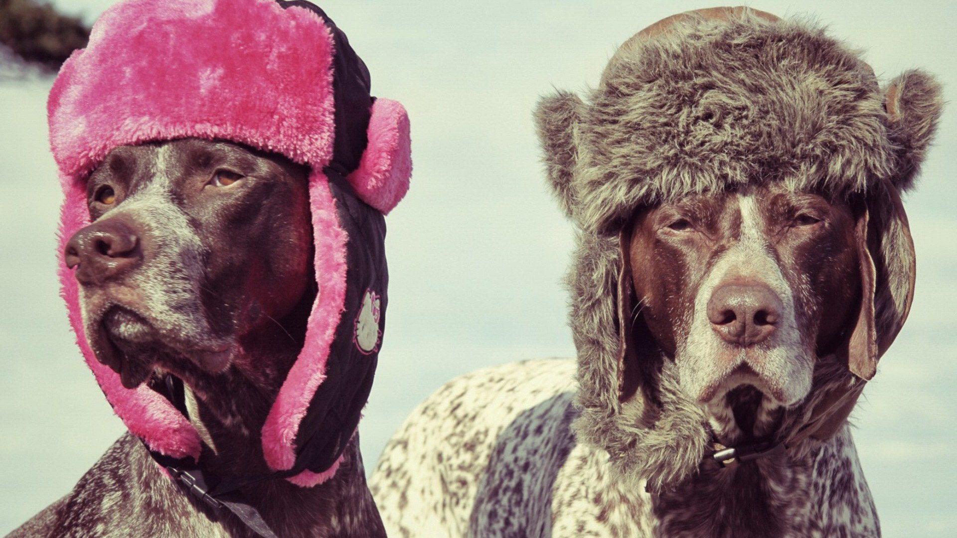 Курцхаары в зимних шапках.
