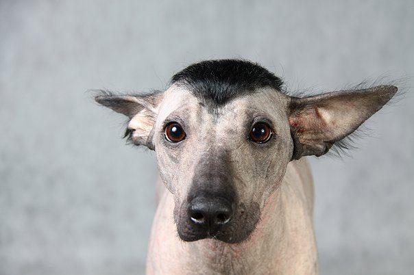 Перуанская голая собака с модной прической.