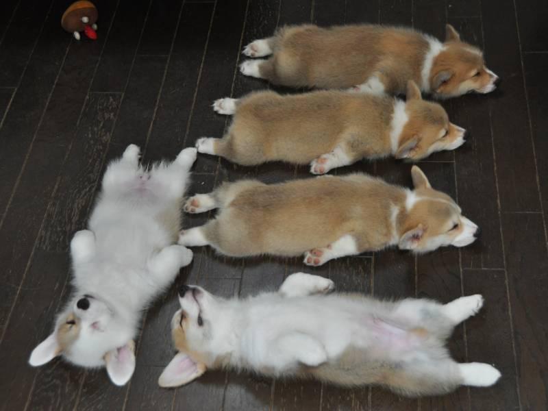 Вельш-корги легли спать.