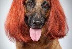 Немецкая овчарка в парике.
