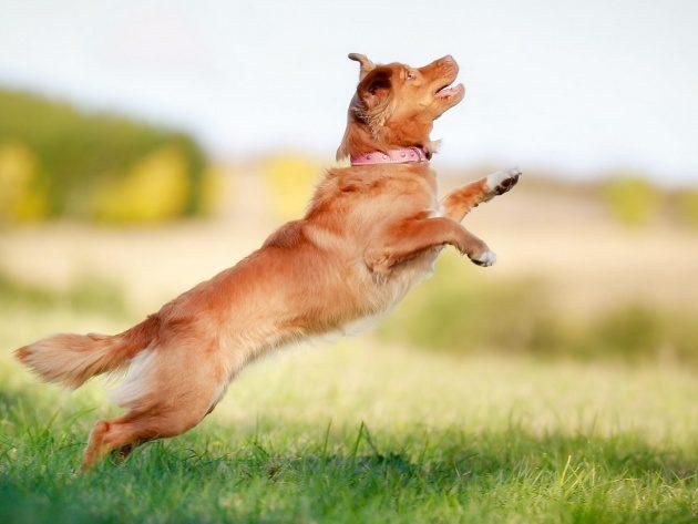 Новошотландский ретривер прыгает.