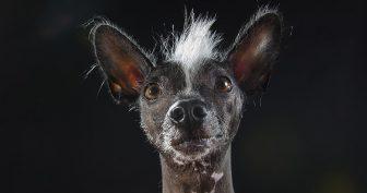 Смешные перуанские голые собаки (11 фото)