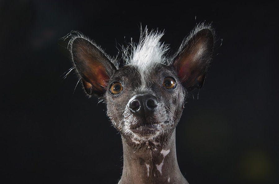 Удивленная перуанская голая собака.