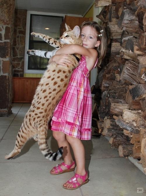 1260401539_1255679356_savanna_cat_magic_01