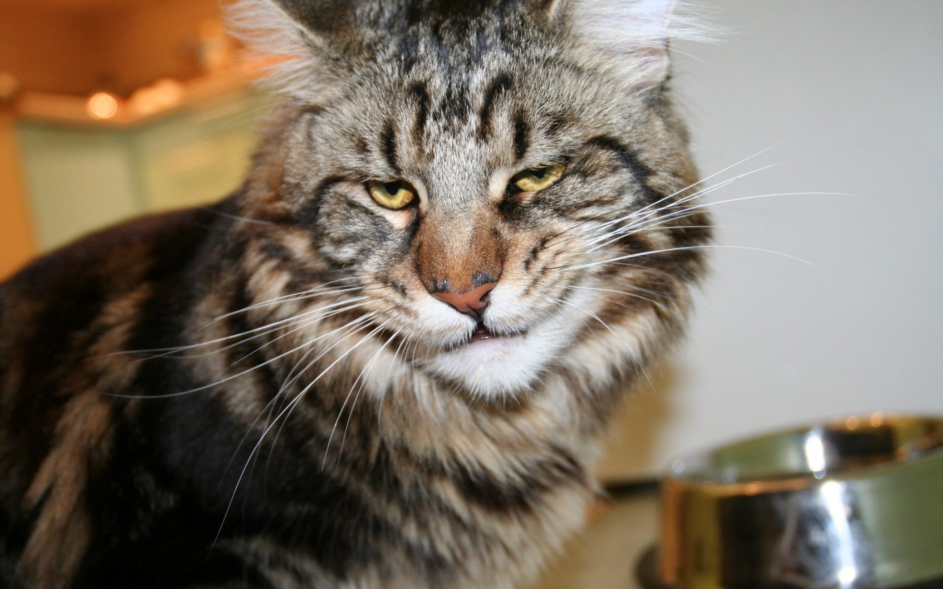 cat-maine-coon-face-frustration-3840x2400