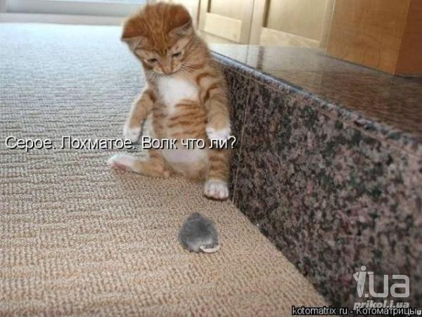 фото приколы котят