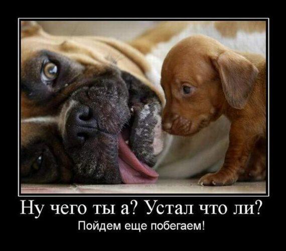 Мангуст джексона фото  animalsfotocom
