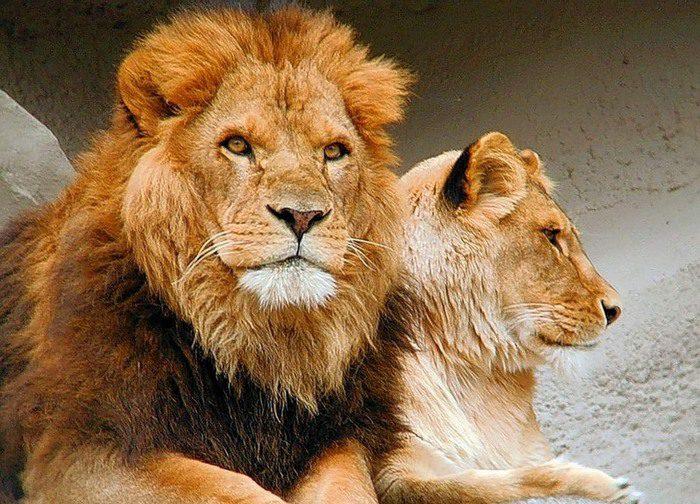 Знак зодиака Лев характеристика льва знака зодиака даты