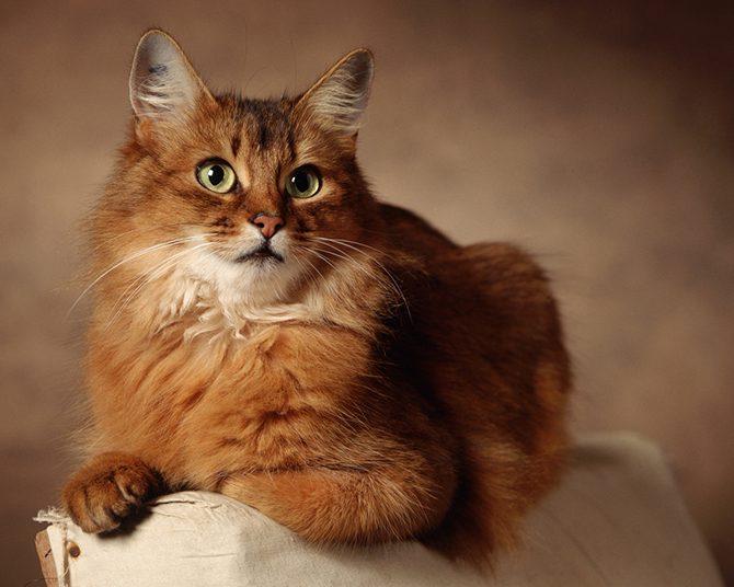 порода кота с большими глазами фото