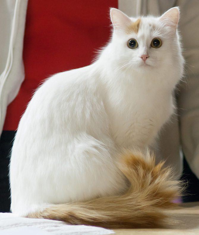 Рысь белая фото