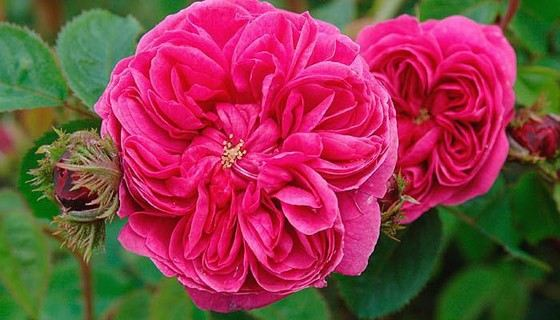 Самые красивые цветы роза фото
