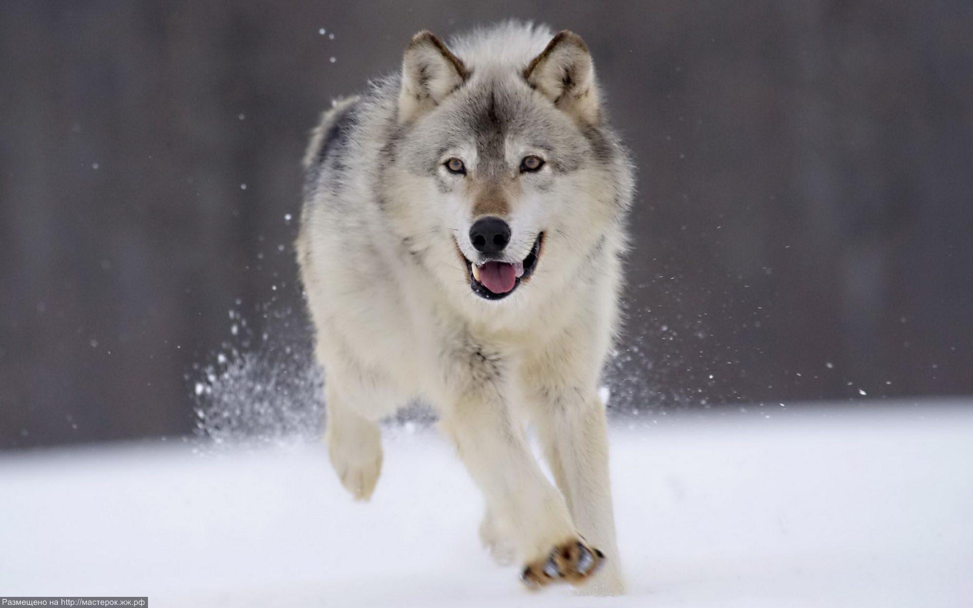 Белый волк и черный волк картинки