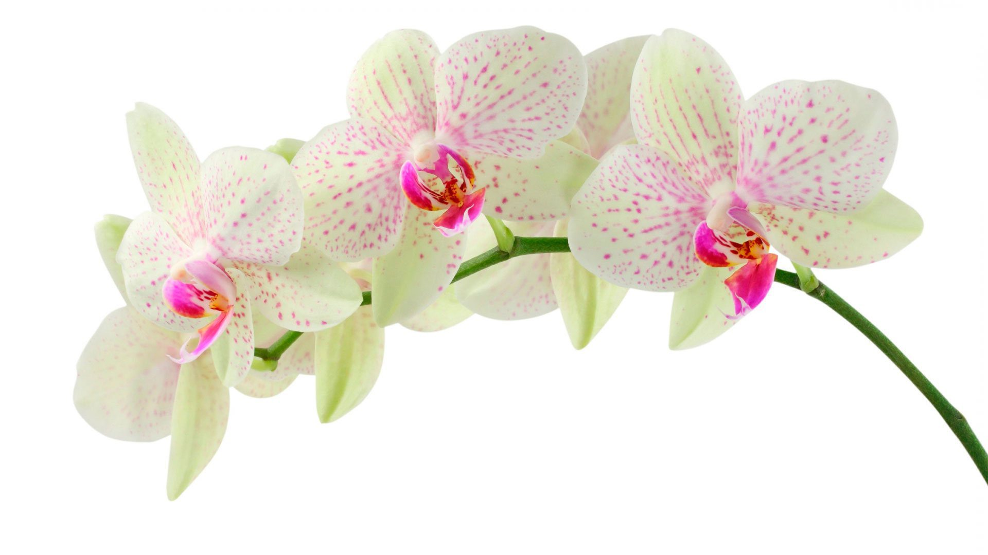 Белая лилия цветок фото