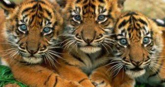 Картинки красивые тигры (35 фото)