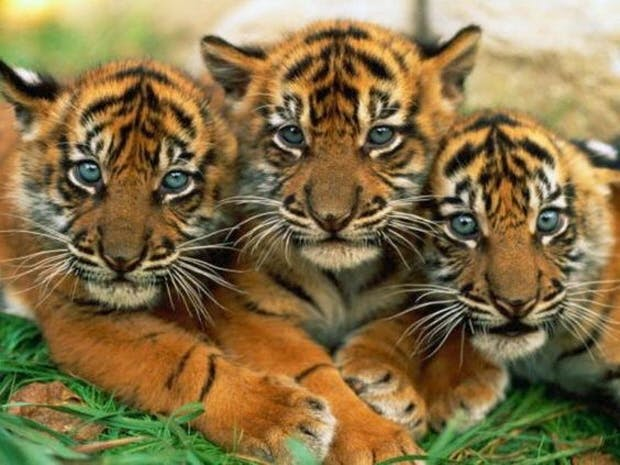 Картинки по запросу тигры