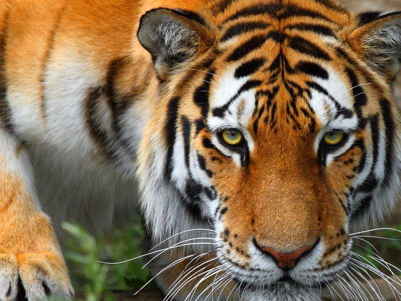 Тигрица с тигренком фото 6