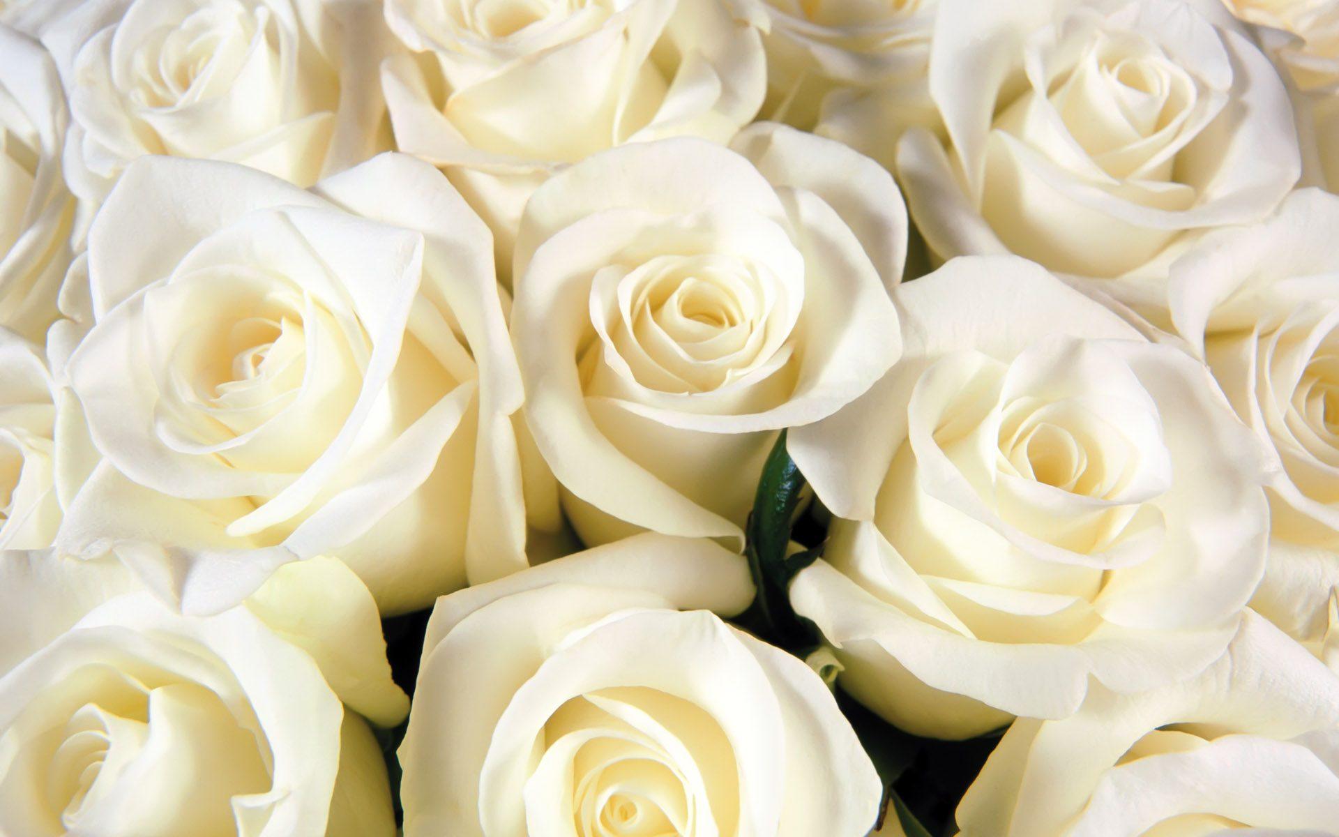 картинки жёлтые розы красивые