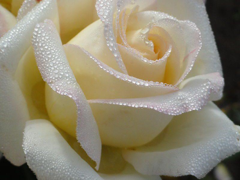 Картинки большие букеты роз