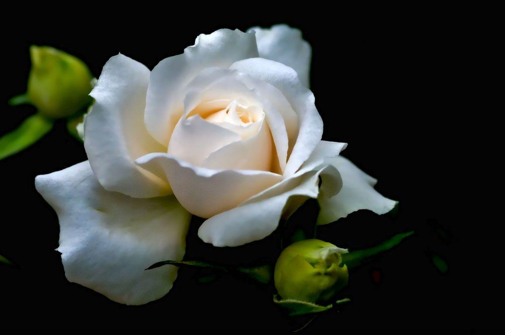 Розы чайные обои на рабочий стол
